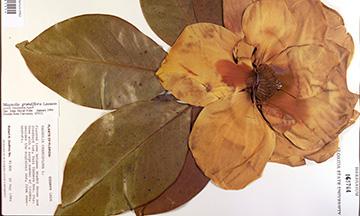 This Leon County Magnolia grandiflora specimen is cataloged in Florida State's herbarium.