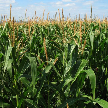 Maize-analysis-yields-whole-new-world-of-genetic-science