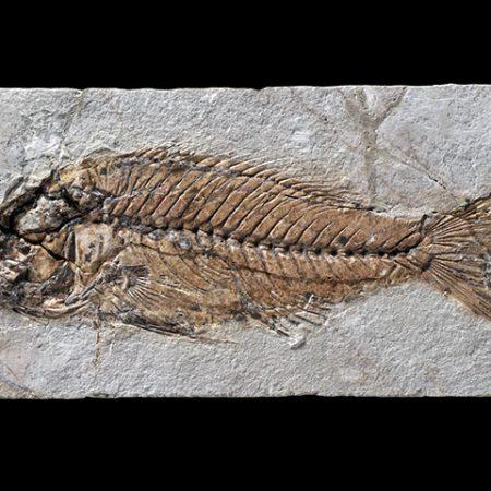 Sparnodus elongatus agassiz, 1839: Fossilized fish from the Paleogene