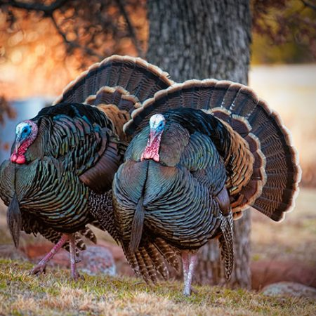 Native Americans were managing and raising turkeys as early as 1200 – 1400 A.D.