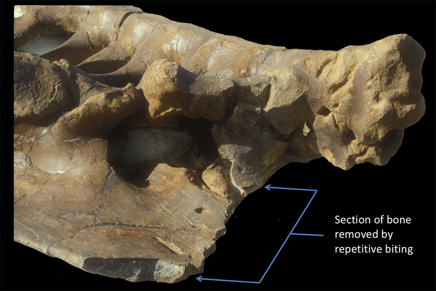 Triceratops pelvis bearing nearly 80 T. rex bite marks. Bracket shows region where the carnivore repetitively removed sections of bone without the benefit of occluding teeth.