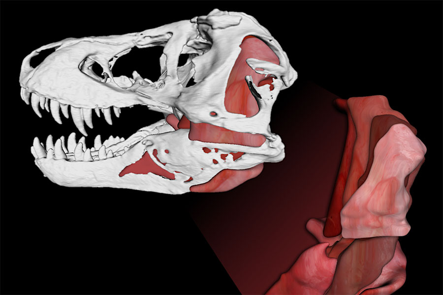 Jaw muscles in Tyrannosaurus rex that helped it generate 8,000-pound bite forces and an astounding 431,000 pounds per square inch of bone-failing tooth pressures.