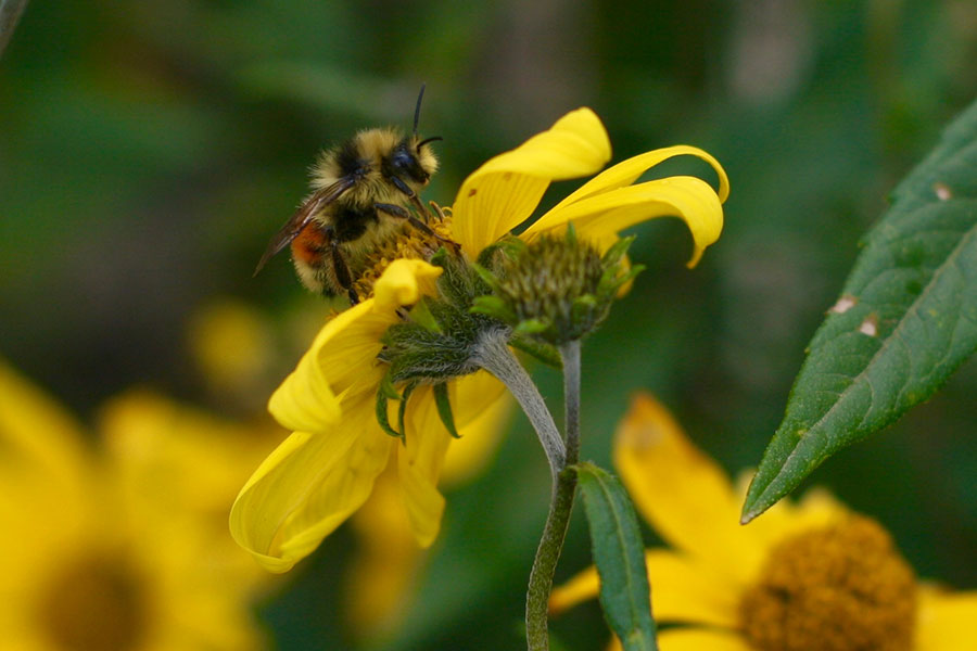 Bombus bifarius, one of the three species of bumble bees studied by researcher Jane Ogilvie and her team.