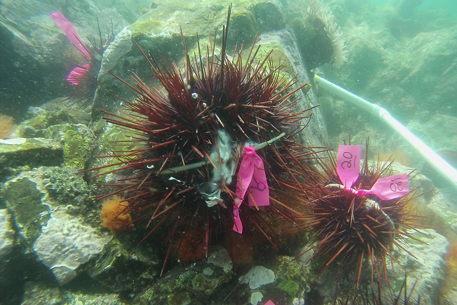 Male sea urchins spawning off the Pacific coast of Canada. Individuals were tagged, mapped and geotyped for parentage analysis and sequencing of sperm proteins. (Photo: Kevin Olsen)