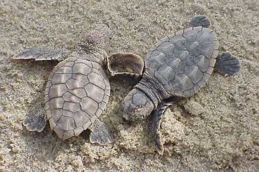 Loggerhead hatchlings. Credit: Wikimedia Commons