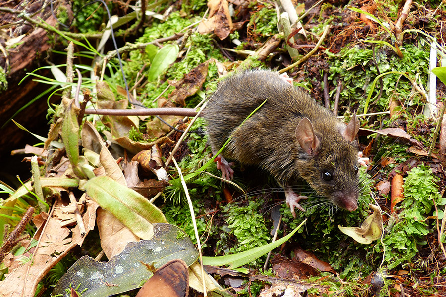 Mt Halcon forest mouse on Mindoro Island in the Philippines. (Credit L.R. Heaney, The Field Museum)