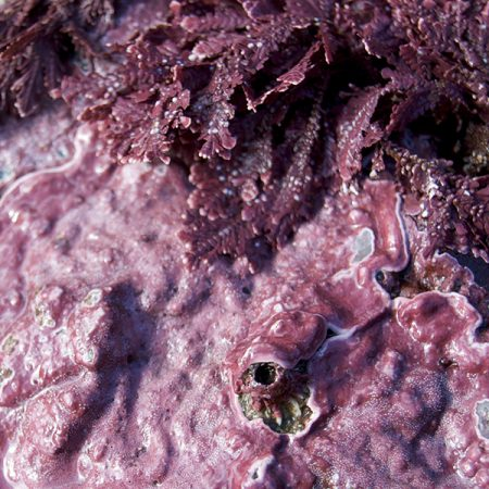 Coralline algae have a hard skeleton and are often pink, red, purple, yellow or gray-green.
