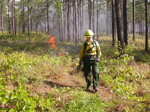 Tall Timbers specialist Tracy Hmielowski uses a drip torch to ignite vegetation as part of a prescribed burn. Credit: Kevin Robertson