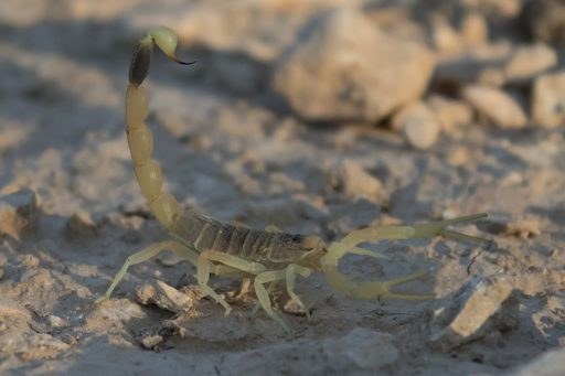 The deathstalker scorpion, pictured here, produces a toxin that has been used to treat and operate on brain tumors.