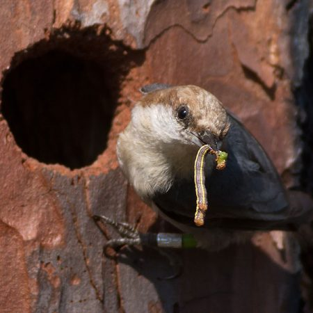 Researchers from Florida State University and the Tallahassee-based Tall Timbers Research Station found that when fewer mates were available for brown-headed nuthatches, these small pine-forest birds opted to stay home and help their parents or other adults raise their offspring. (Photo: Tara Tanaka)