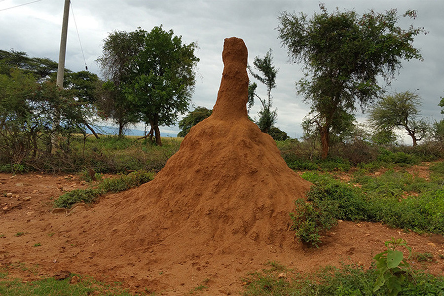 The mound of an African giant termite (Macrotermes jeanneli) in southern Ethiopia. (Courtesy of Scilight)
