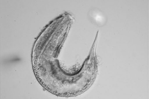 An example of a nematode from the Richtersia genus found during sampling. Photo by Jeroen Ingels / Florida State University Coastal and Marine Laboratory