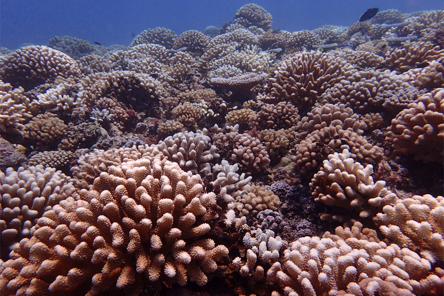 Newswise: FSU researchers discover how 'cryptic species' respond differently to coral bleaching