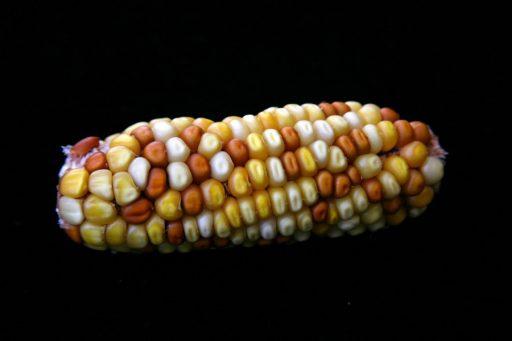 Eine Maiskolben (Zea mays) aus der FSU-Studie.  (Foto von Jonathan Doster)