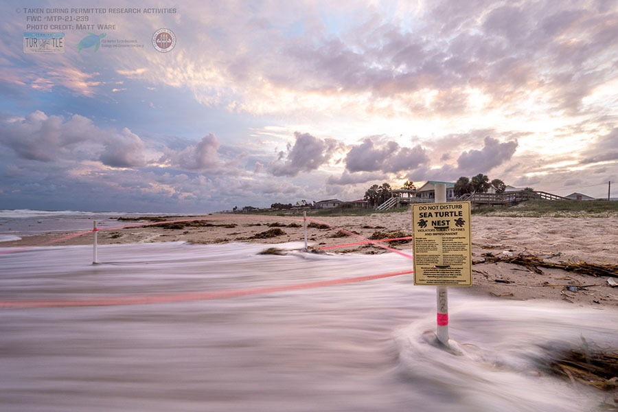 Photo:Researchers from the Florida State University Department of Earth, Ocean and Atmospheric Science have found that powerful ocean waves pose a significant threat to sea turtle nests, with wave exposure potentially affecting egg incubation and hatchling productivity. Photo courtesy of Matt Ware.